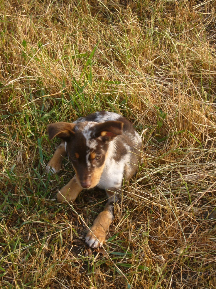 Kabookie, 8 week old red merle koolie bitch puppy who has survived parvo  that she contracted at 5 1/2 weeks