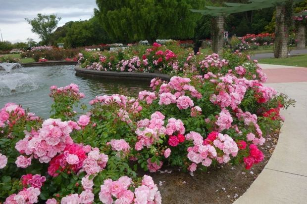 Flower Carpet roses thrive in Palmerston North Rose Trial Gardens in New Zealand