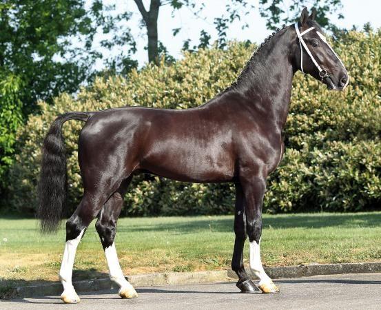 black - Dutch Harness Horse stallion Delviro HBC