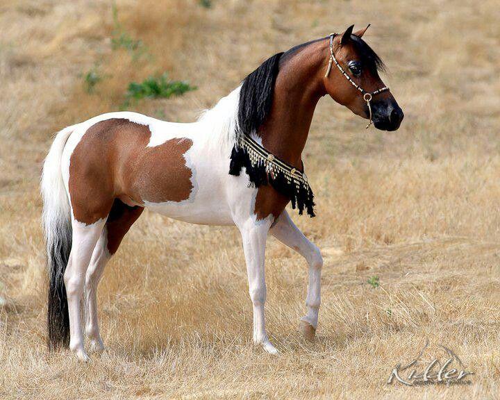 17 Best Ideas About Pinto Horses On Pinterest