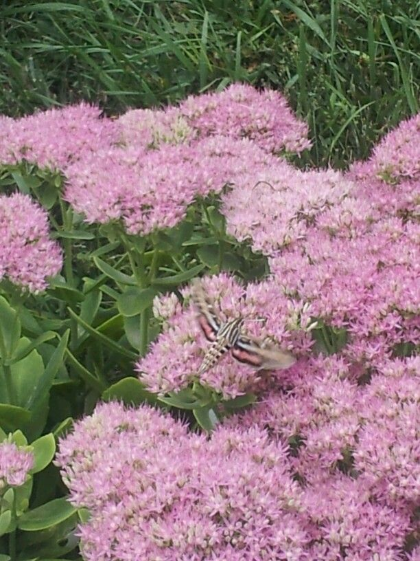 Hummingbird Moth Saw Two Of These At Southwind Park In Springfield Il Animal Pinterest