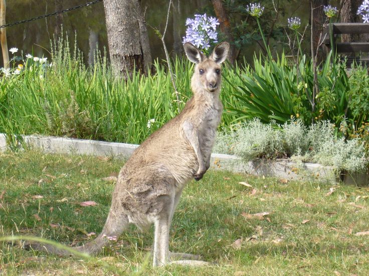 images of kangaroos | Abby Lodge is regularly visited byKangaroos, which graze on the grass ...