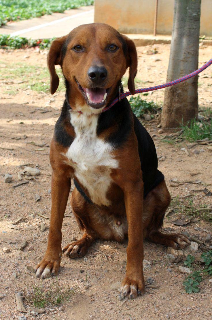 TITUS-696 652 749. Macho de unos 2 años de edad. Peso: 17 Kg Sociable con personas y perros. Muy muy enérgico. Necesita mucho ejercicio.  Sale a pasear sin correa.