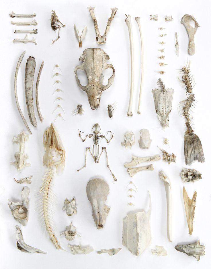 """Joseph's Collection"": includes intact bird skeleton, muskrat jaw, coyote jaw, heron leg bones, deer ribs, beaver skull, catfish skull, bass spine, turtle breastbone, northern pike head and spine, green frog skeleton, squirrel skull, baby raccoon skull, raccoon skull, northern pike jaw.  Photo by Mary Jo Hoffman"