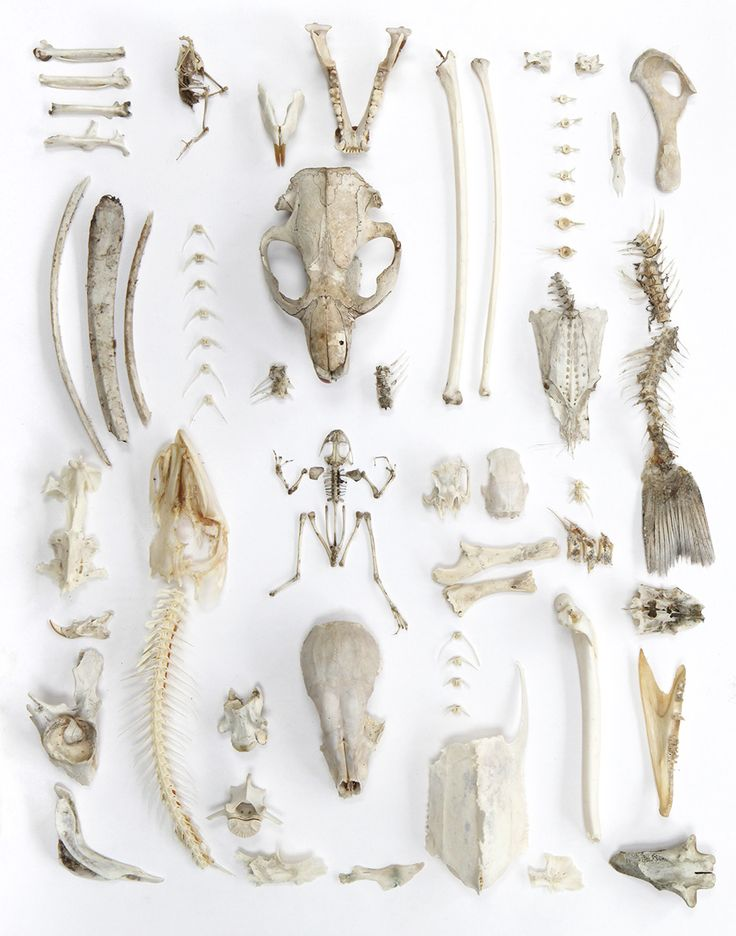 """Joseph's Collection"": includes intact bird skeleton, muskrat jaw, coyote jaw, heron leg bones, deer ribs, beaver skull, catfish skull, bass spine, turtle breastbone, northern pike head and spine, green frog skeleton, squirrel skull, baby raccoon skull, raccoon skull, northern pike jaw.  Photo by Mary Jo Hoffman"