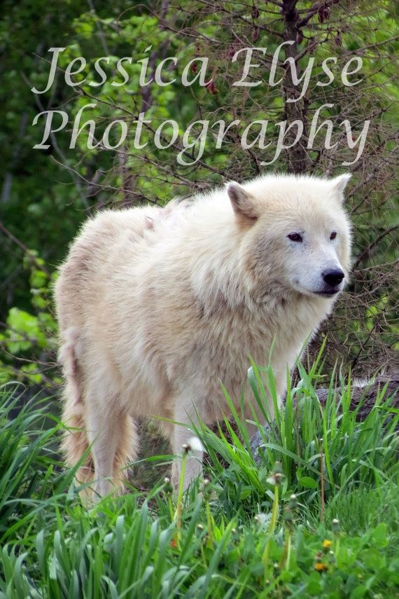 lone white wolf stands on a hill by jessicaelysephotos on Etsy, $30.00