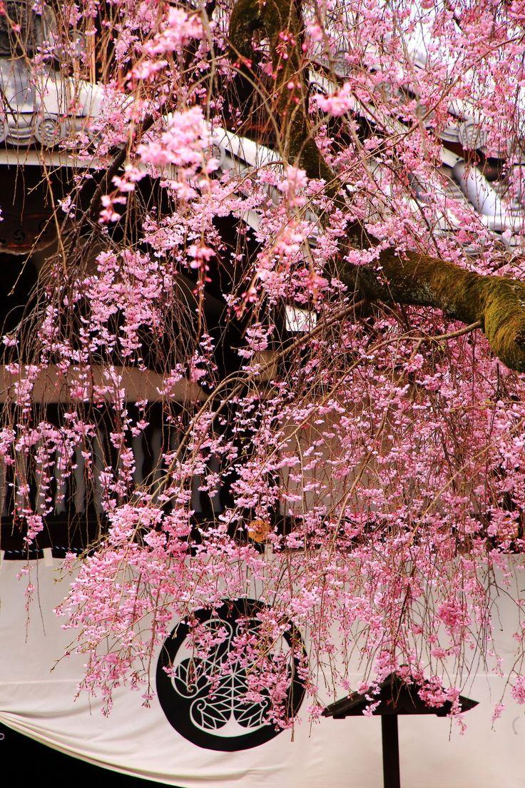 Kyoto Yogenin-Temple cherryblossoms