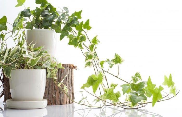 plante interieur depolluante pour appartement avec grande capacité absorption benzène