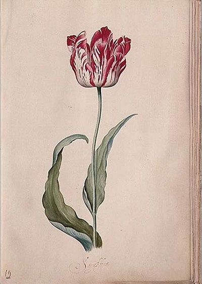 Judith Leyster  Tulip from Her Tulip Book (1643)  Frans Hals Museum, Haarlem  When the Dutch artist Judith Leyster painted this striped specimen in 1643, pictures of tulips were regarded as cheap substitutes for the real thing because the bulbs had become prodigiously expensive.