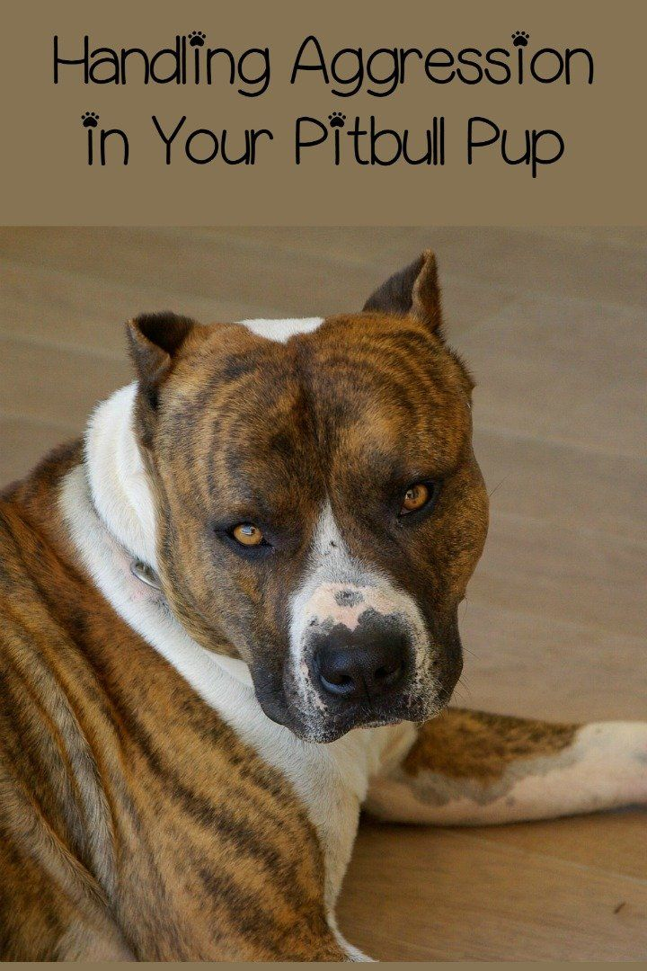 Pitbull Puppy Training Tips: The Aggressive Pitbull Pup