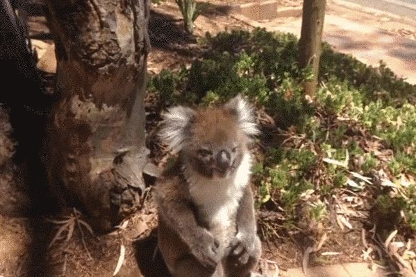 According to Alexander, it is currently mating season for koalas in Australia, meaning the males are fighting for supremacy. Unfortunately for this little guy, he was outmatched.