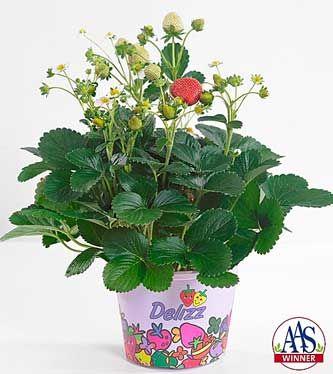 delizz strawberry seeds