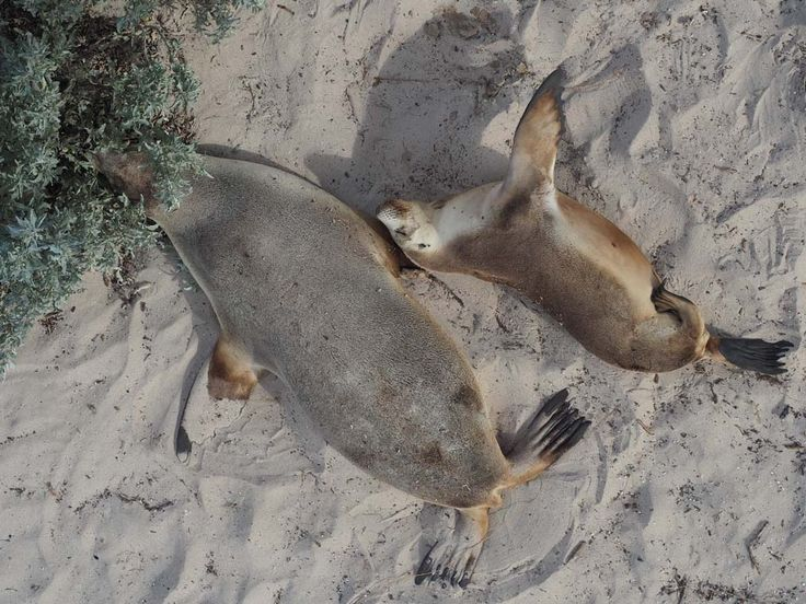 Sea Lions on the beach at Seal Bay, Kangaroo Island