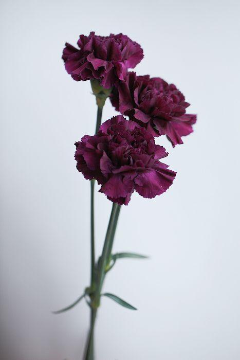 Темно-фиолетовые гвоздики