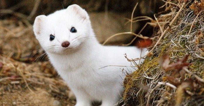 El lizuna es un tipo de comadreja que pertenece a una subespecie que prefiere los climas del norte de Hokkaido, Siberia y Escandinavia. A diferencia de otras comadrejas, el pelaje de esta subespecie se vuelve blanco durante el invierno para que le sirva de camuflaje.