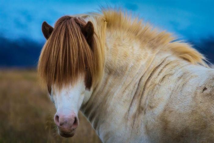 Islandês - a única raça presente na Islândia, lá estes animais são proibidos