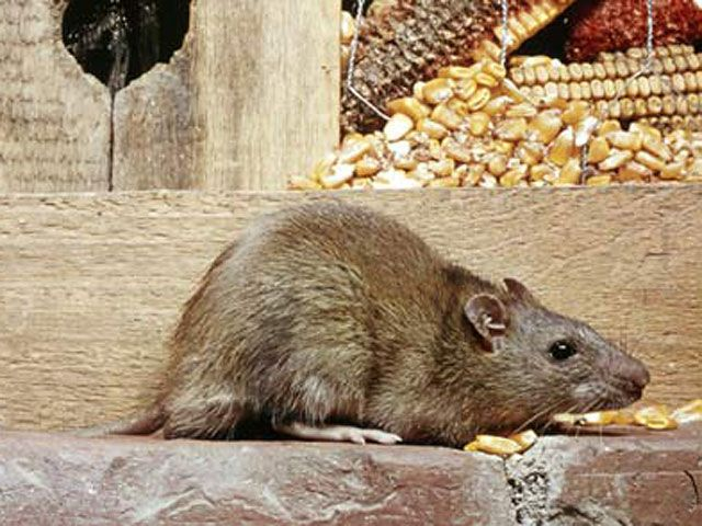 110 best keep mice and rodents out images on pinterest pest 110 best keep mice and rodents out images on pinterest pest control mole repellent and vegetable garden ccuart Gallery