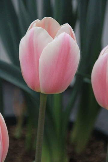 Tulipa Apricot Delight - Tulip Bulbs for sale