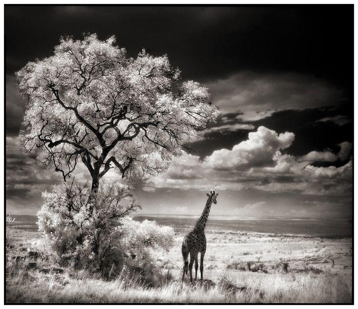 Giraffe Looking Over Plains