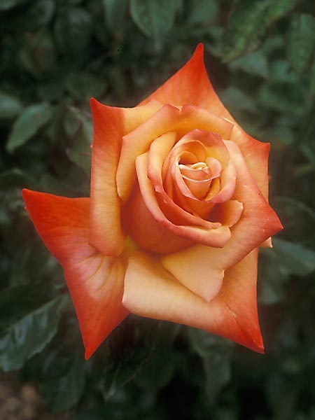 """""""Remember Me"""" Hybrid Tea Rose....salmon and gold : )"""