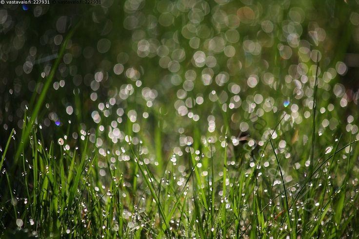 On kuin sataisi hopearahoja - kasteinen ruohikko kimallus bokeh kastepisarat pisaroida pisara pisarat kaste aamukaste aamukasteinen ruoho nurmi nurmikko kimaltaa kimmeltää kimallus kimmellys valopallot kastepisarat vesipisarat kasteiset vihreät heinänkorret ruohonkorret vihreä heinä heinät ruohonjuuritaso ruohonjuuritasolla alkukesä keväinen kasvu viherrys vihreys vehreys kasvuvoima kasvuenergia pihamaa toukokuinen luonto kevät toukokuu
