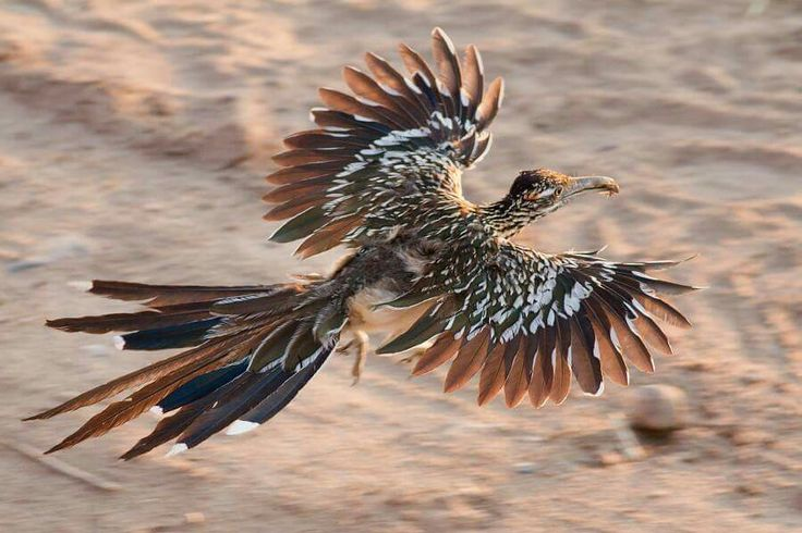 A greater roadrunner (Geococcyx californianus) taking flight! These animals are common out in the Mojave Desert.