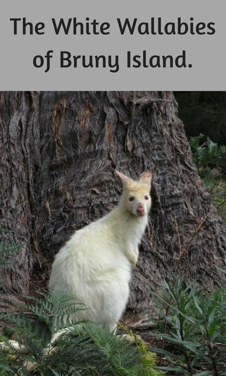 The White Wallabies of Bruny Island.