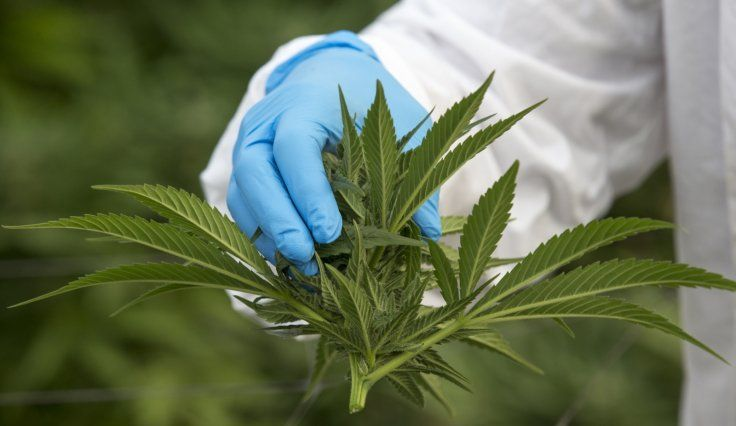 Doctors claim to have witnessed 'first cannabis overdose' in medical history - Gears Of Biz #757Live