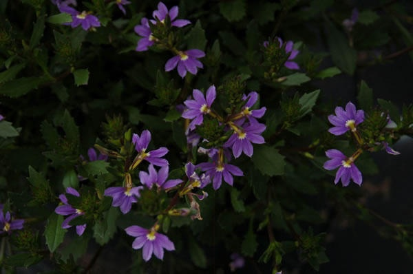 Whirlwind Blue Scaevola - Fan Flower