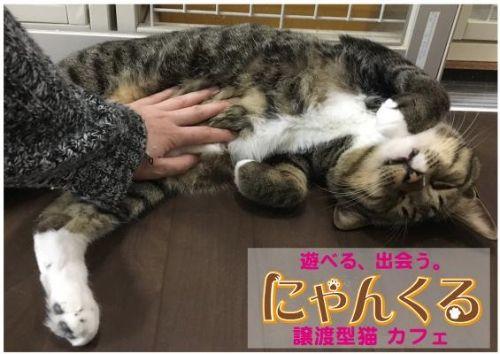 """【猫カフェにゃんくる川崎店】""""猫エイズ""""だけの譲渡型猫カフェを4月22日より始動しました。"""