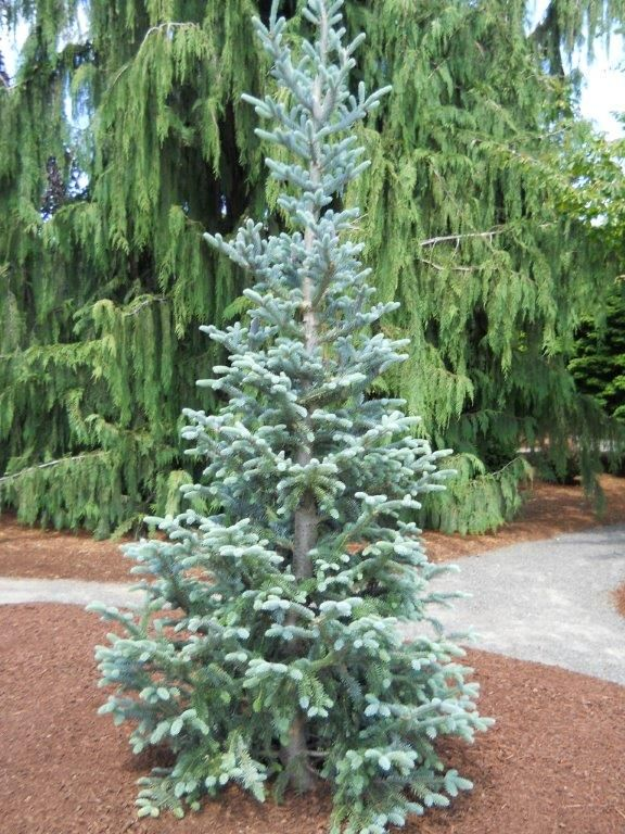 Abies balsamea 'Tyler Blue' - Small lot suitable