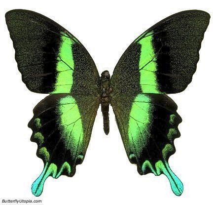 The Majestic Green Swallowtail (Papilio blumei)