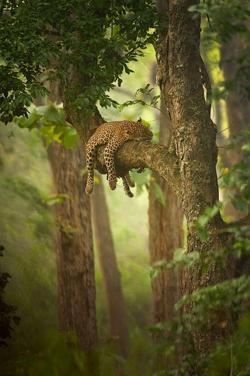 Snoozing in the jungle.Photos, Sleep Beautiful, Big Cat, Lazy Day, Trees, Leopards, Cat Naps, Naps Time, Animal