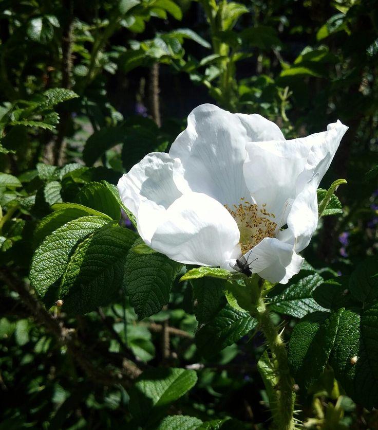 Rosa rugosa alba, enkel.