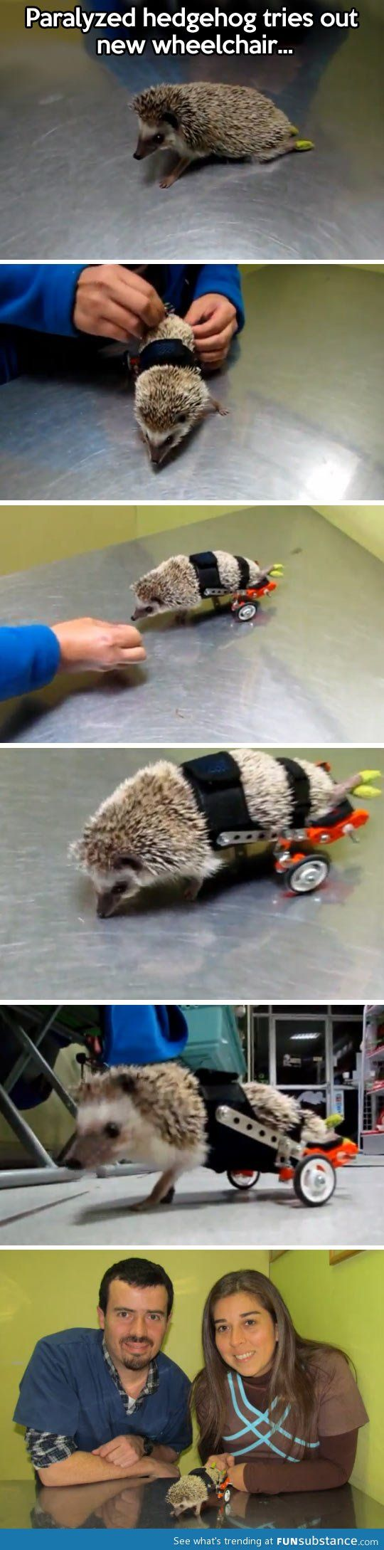 Paralyzed hedgehog fitted with wheels