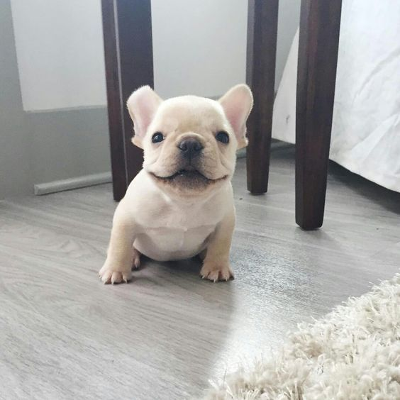 Franklin, the French Bulldog Puppy is all smiles for the weekend! ™ @thefrenchiefranklin http://ift.tt/1TVHQ17 on Frenchie Friends Being Fuzzy v