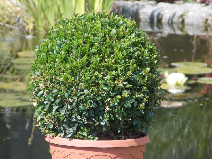 Buxus sempervirens Topiary Ball.