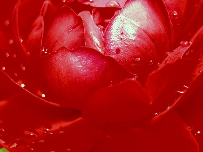 rose - camera NIKON COOLPIX 5700