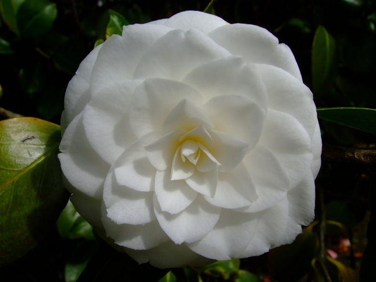 https://flic.kr/p/23SGsYV | Camellia | www.youtube.com/user/yewmchan/videos
