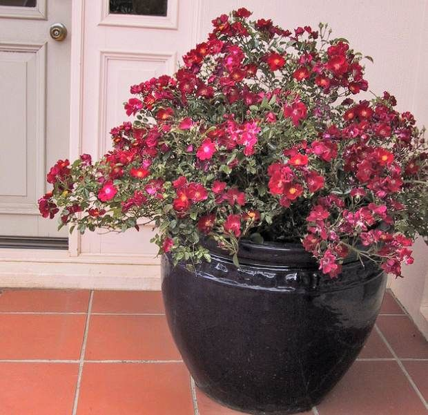 151 best images about containerology on pinterest for Easy care outdoor plants and flowers