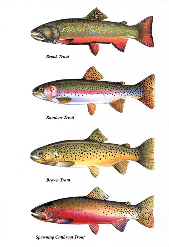 Trout chart prints brook trout cutthroat trout by for How to fish for rainbow trout