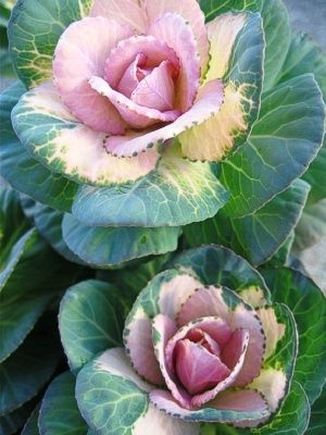 Sunrise Kale-love this variety of ornamental kale.