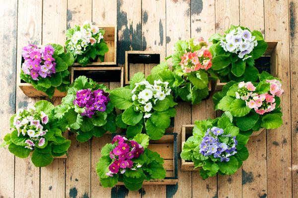 #Primula's fleuren in het vroege voorjaar ook je terras of balkon op.