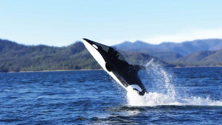 Killer whale submarine :)