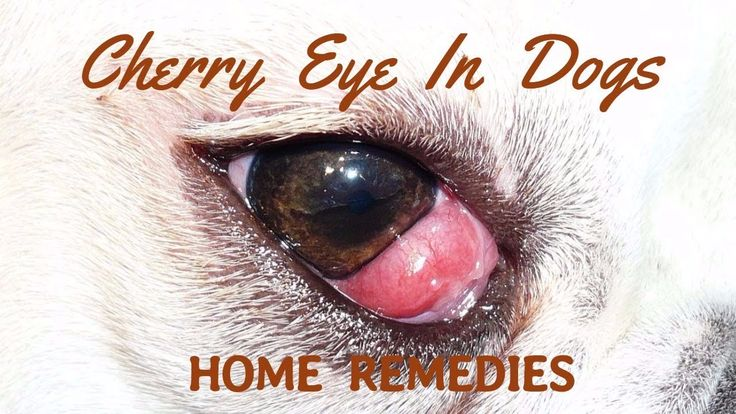 how to treat cherry eye in puppies