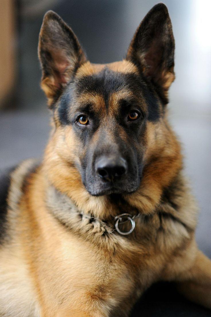 Beautiful German Shepherd | @sophieeleana
