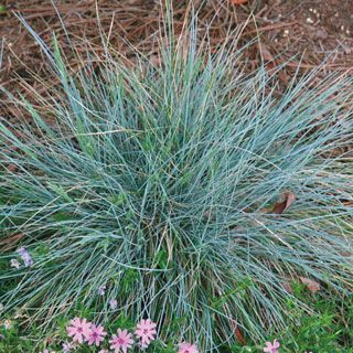 Cherokee brave dogwood zoysia grass feather reed grass for Japanese mounding grass