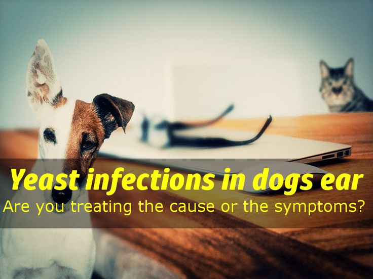 Yeast infections in dogs ear: symptoms, causes, treatment & prevention Yeast infections in dogs ear: What causes yeast infections in dogs ears, signs, causes, treatment, prevention & natural dog yeast infection home remedy.