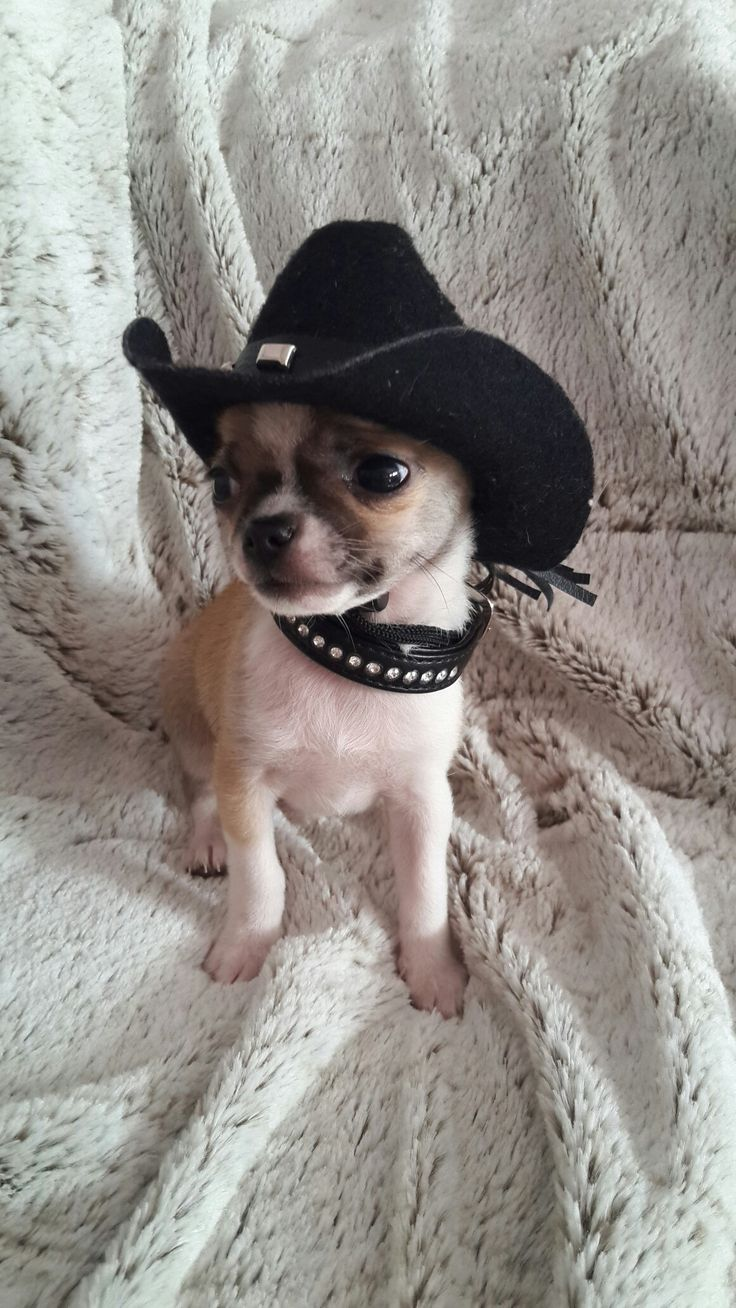 Honky Tonk Chihuahua