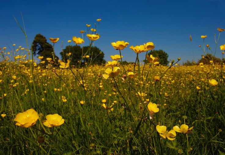 http://www.runic.com/gallery/albums/thames-valley/wittenham-clumps/buttercup-meadow-macro-3.jpg
